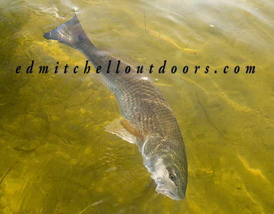 Released Redfish