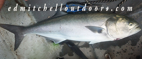 Bluefish -Old Yellow Eyes