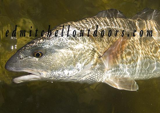 redfish_20140311_2803 crop copy