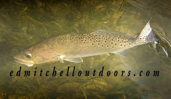 Released Spotted Seatrout