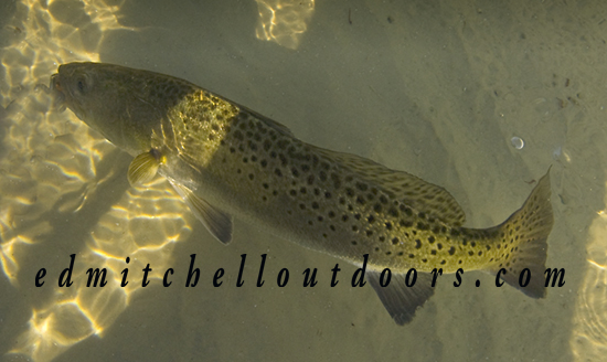 "21"" Spotted Seatrout"