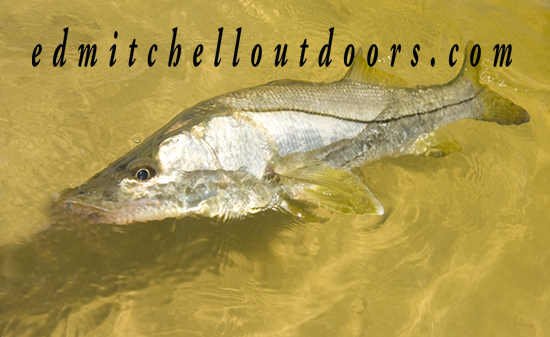 Eight Pound Snook Being Released