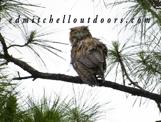 A Soaking Wet Barred Owl