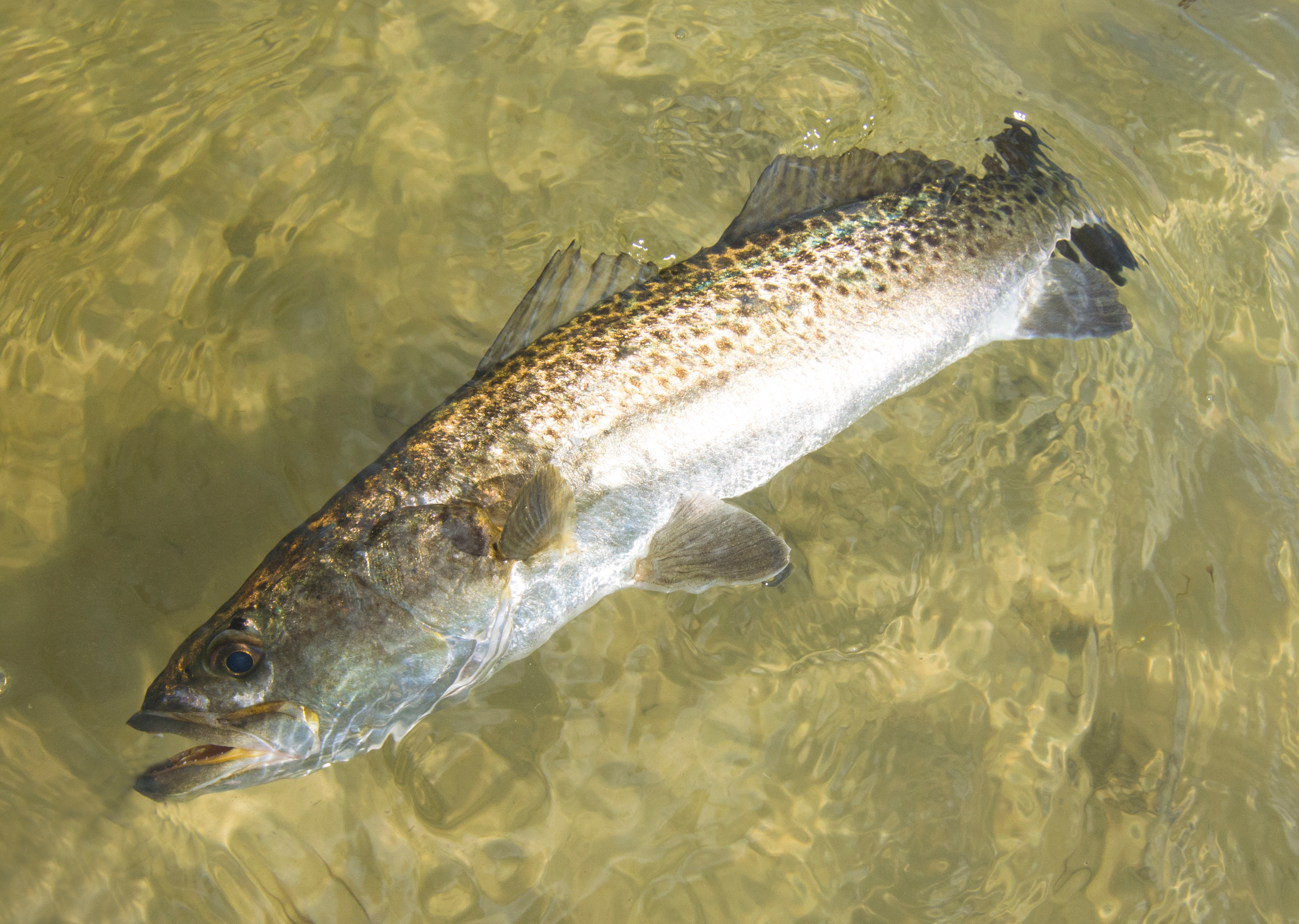 Released Sea Trout