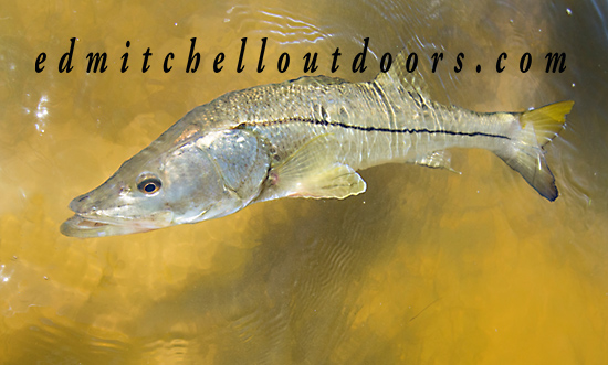 Tailing Snook?