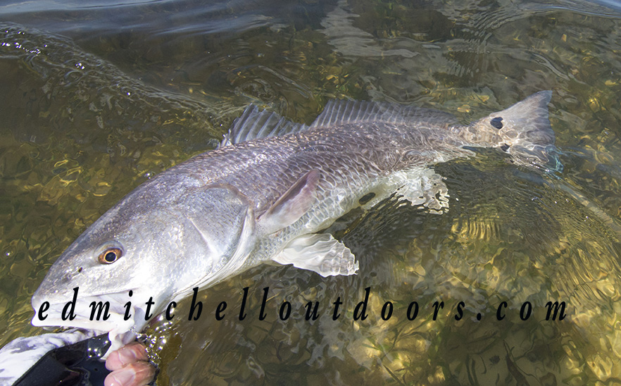 Redfish on a Crab Fly
