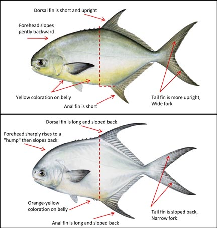 Permit in charlotte harbor ed mitchell outdoors for Florida pompano fish